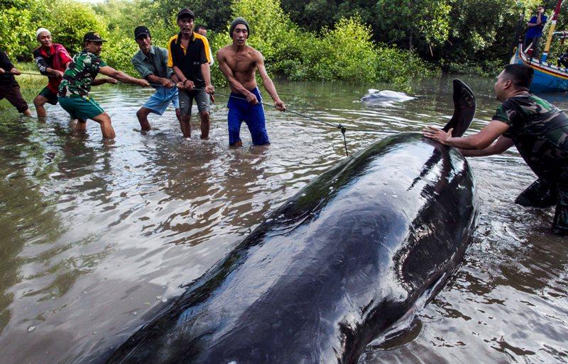 صور: جنوح 32 حوتا على الساحل الإندونيسي
