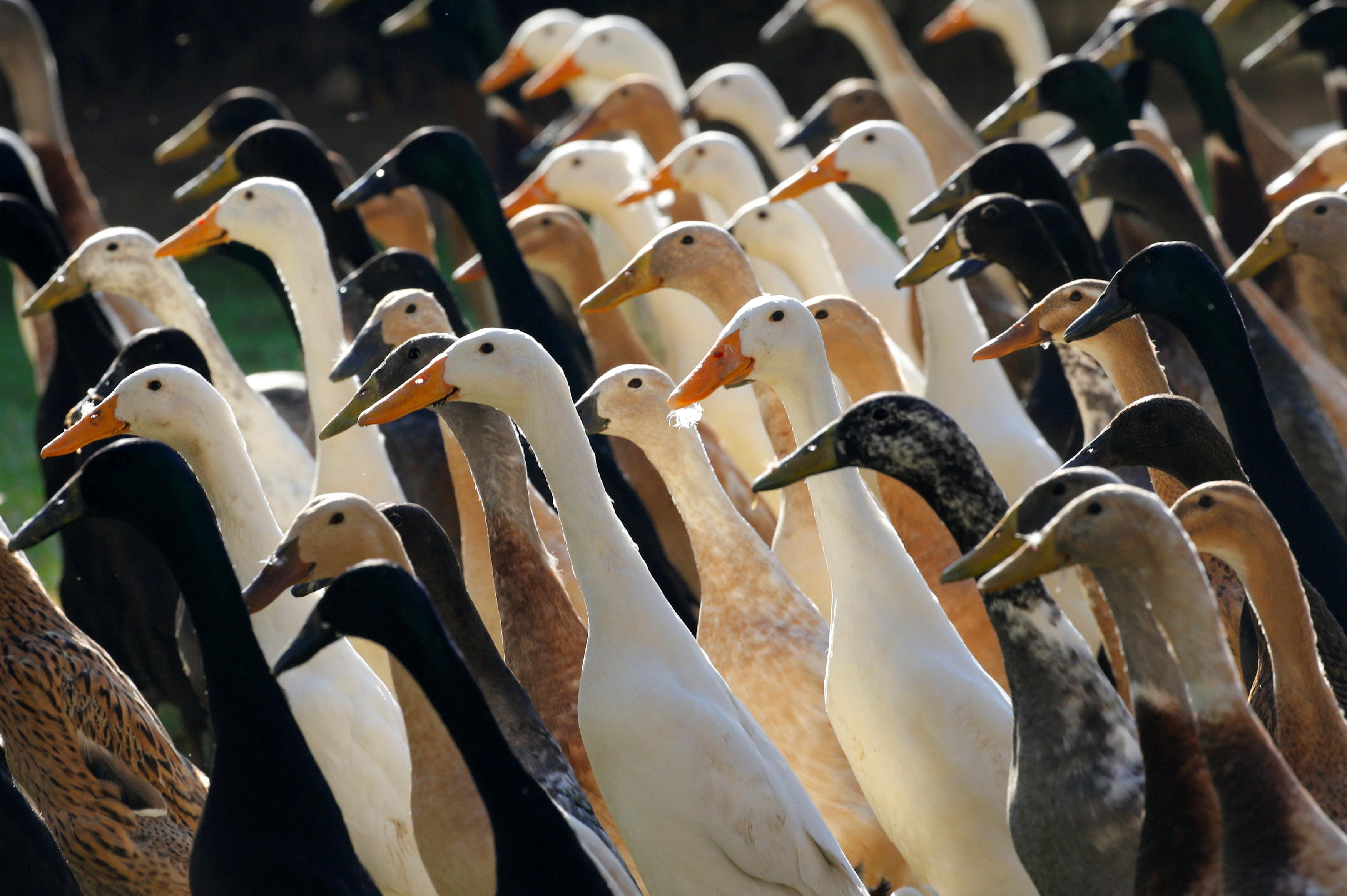 صور:  البط  للقضاء على الآفات الزراعية بجنوب إفريقيا