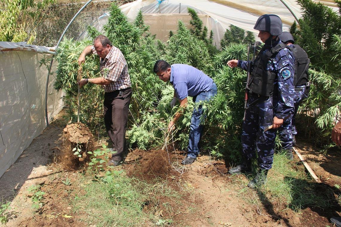 ضبط مشتل ضخم مزروع بالقنب المخدر شمال نابلس