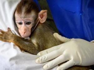لقاح أعطي لقردة أثبت أنه يحمي من كورونا