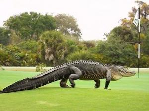"""تمساح عملاق يفاجئ الأميركيين في فلوريدا... """"ضخم مثل الديناصور!"""" (فيديو)"""