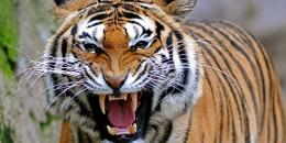 نمر يهاجم حارسًا في حديقة حيوان شرقي أستراليا