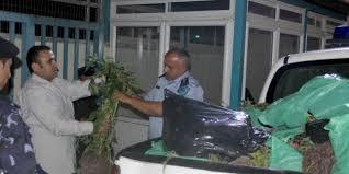 الشرطة تضبط 800 شتلة مارجوانا وتقبض على 5 أشخاص في رام الله