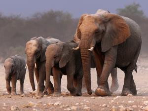 لماذا لا يصاب الفيل بالسرطان؟ العلم يحل اللغز