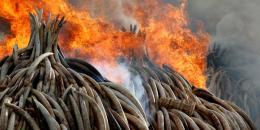 صور | إشعال النار في أطنان من العاج في كينيا