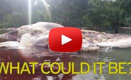 Embedded thumbnail for مخلوق غريب يظهر على الشواطئ الأندونيسية